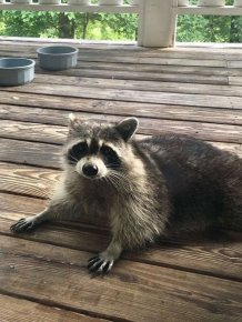When You Feed A Pregnant Raccoon It Will Happen Next