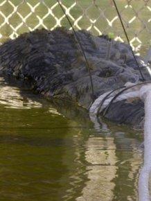60-Year-Old Crocodile Caught In Australia