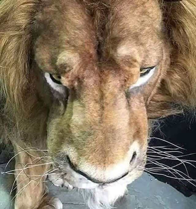 Mufasa Animatronic Model From Live Action Lion King Remake