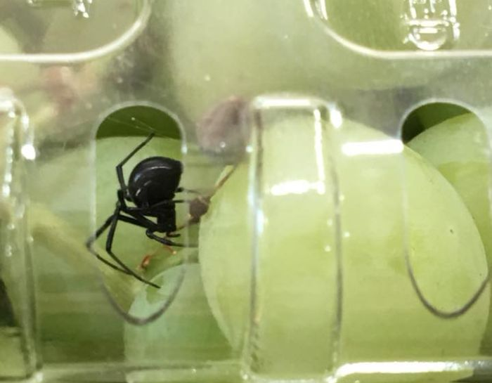 Black Widow Spider Found In Organic Grapes
