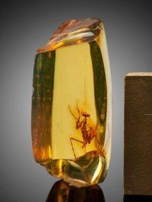 A 12 Million Year Old Praying Mantis Encased in Amber