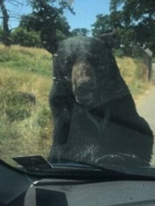 Bear Attacks A Car