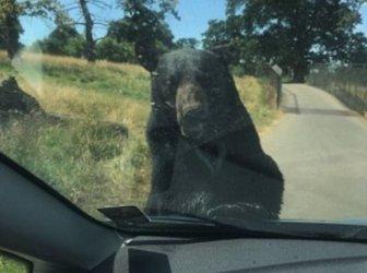 Bear Attacks A Car