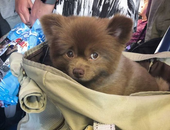 This Abandoned Pomeranian Dog Looks Like A Baby Bear Animals
