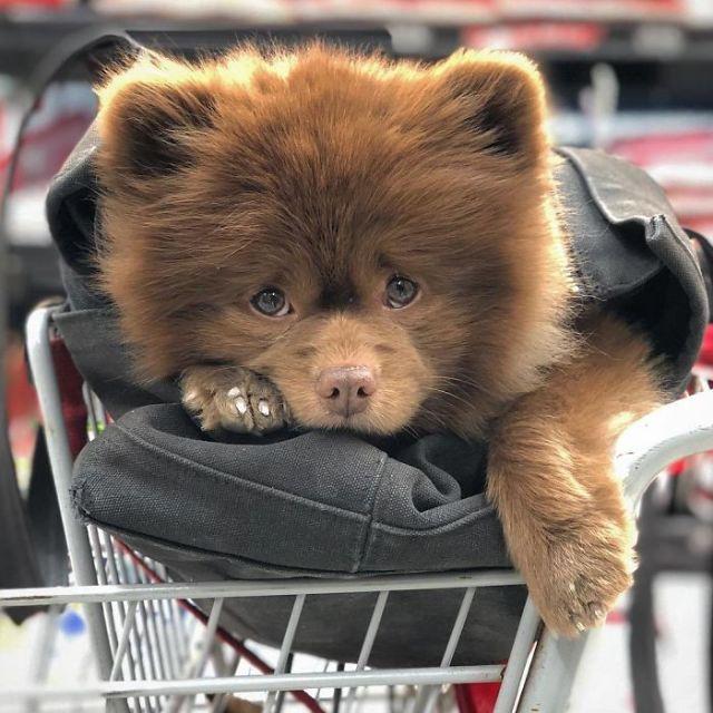 This Abandoned Pomeranian Dog Looks Like A Baby Bear