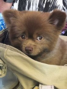 This Abandoned Pomeranian Dog Looks Like A Baby Bear