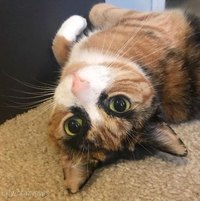 Meet Lilly, The Cat With Weird Eyebrows Who Looks Like She's Always Judging You