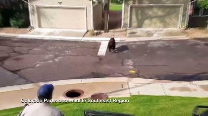 A Bear Inside A Sewer In Colorado Springs
