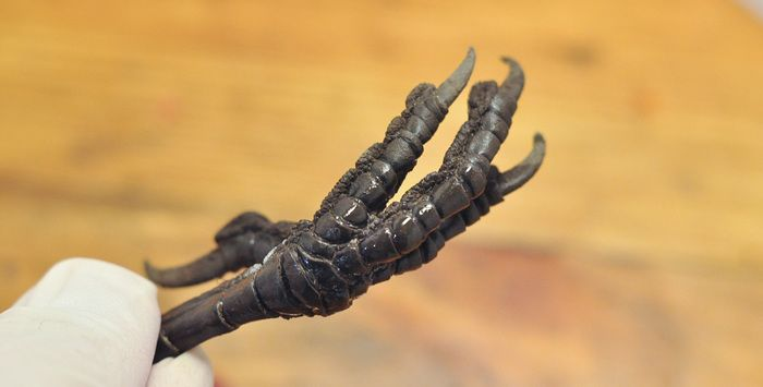Ring Made Out Of The Crow's Paw