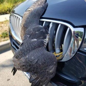 Rescued Falcon