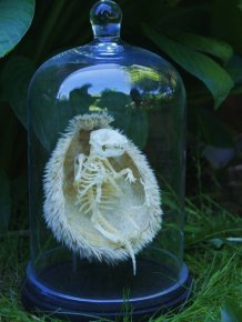 Skeleton Of A Hedgehog