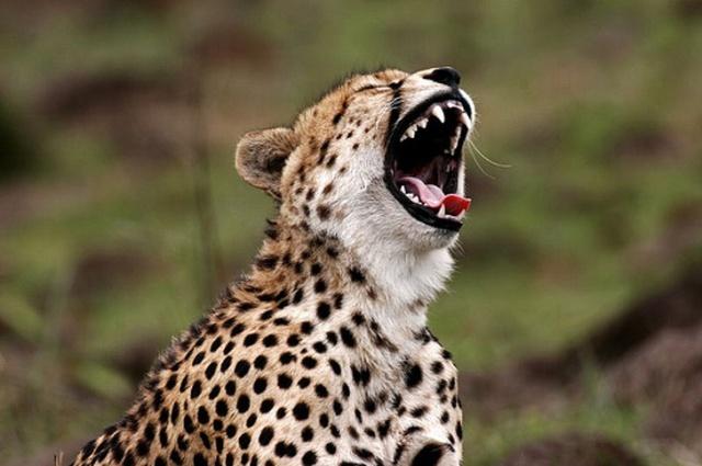 Yawning Animals