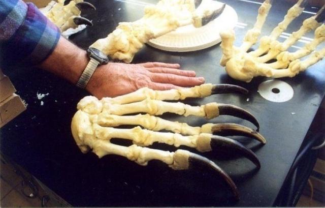 A Human Hand Vs A Bear's Paw