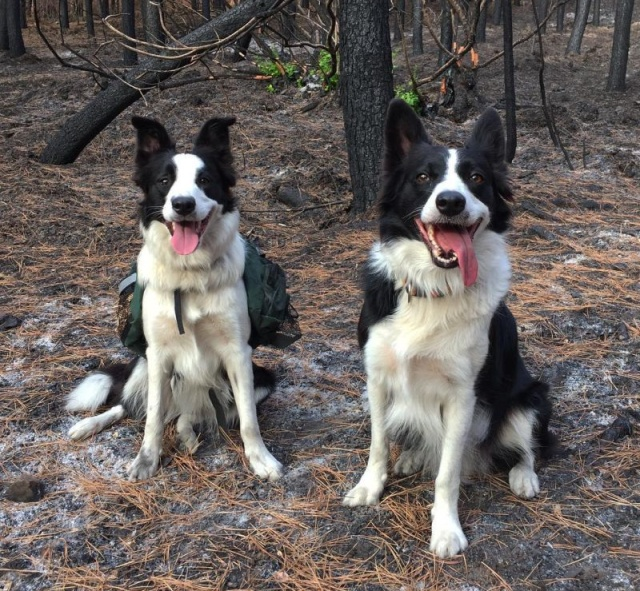 Dogs Save Forests From the Effects Of Devastating Fires