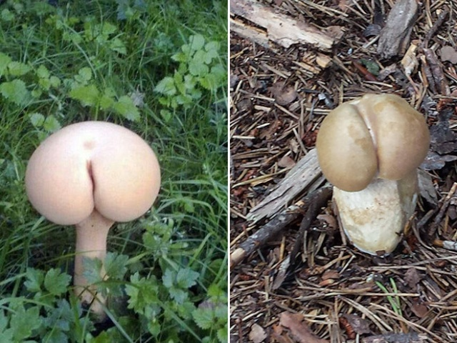 Mushrooms That Look Like Butts