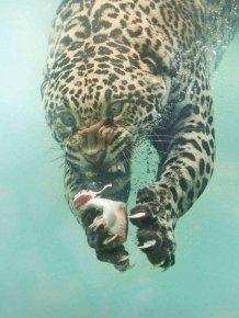 Fishing Leopard Photoshop Battle