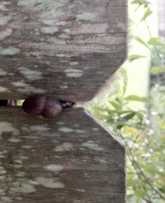 Squirrel Is Found Stuck In A Fence By His Testicles. He Was Rescued