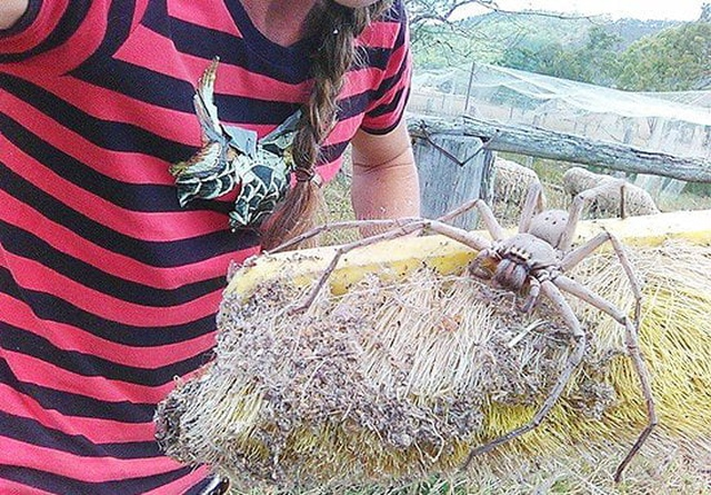 Saving A Giant Huntsman Spider