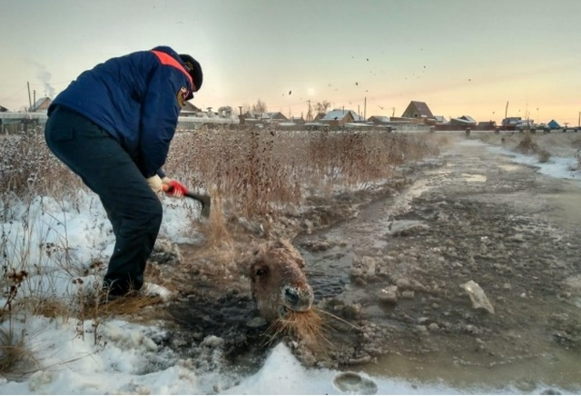 Rescuing Horses From Ice In Yakutsk, Russia