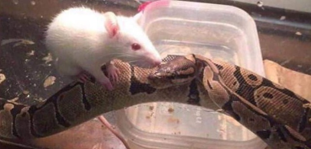 Snake And Mouse Became Friends