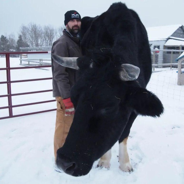 A Big Black Cow Named Dozer