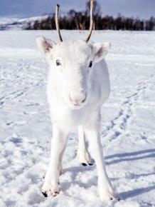 White Reindeer In Norway