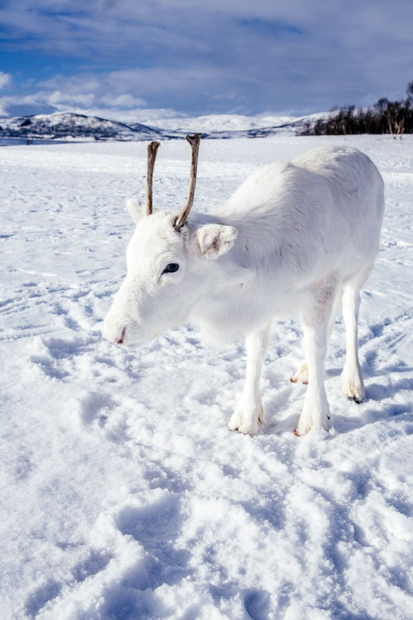 White Reindeer In Norway