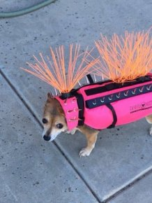 In The US, Small Dogs Have To Wear Spiked Vests So That Coyotes Do Not Grab Them