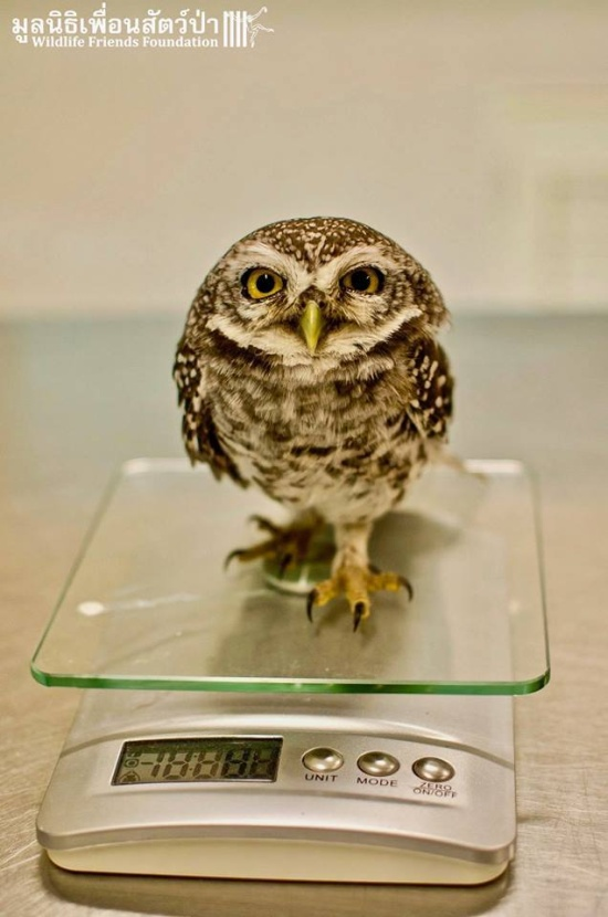 Releasing Owlets