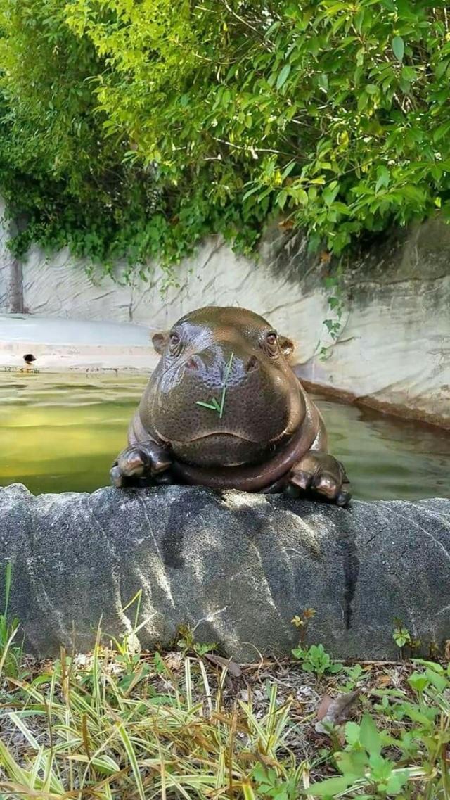Very Cute Hippo