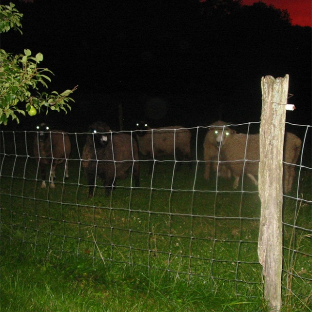 Sheep At Night Are Scary