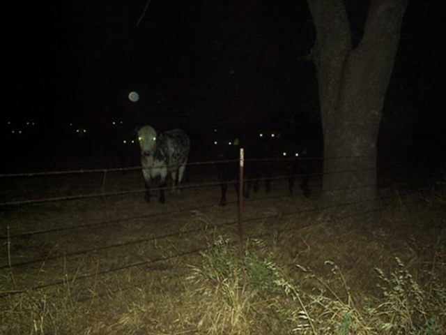 Cows At Night Look Scary