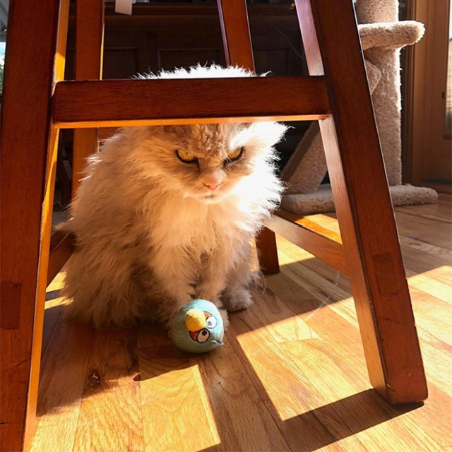 Pompous Albert Is The Angriest Cat on Instagram