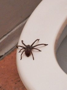 Guy Accidentally Sat On A Toilet With A Huntsman Spider In It