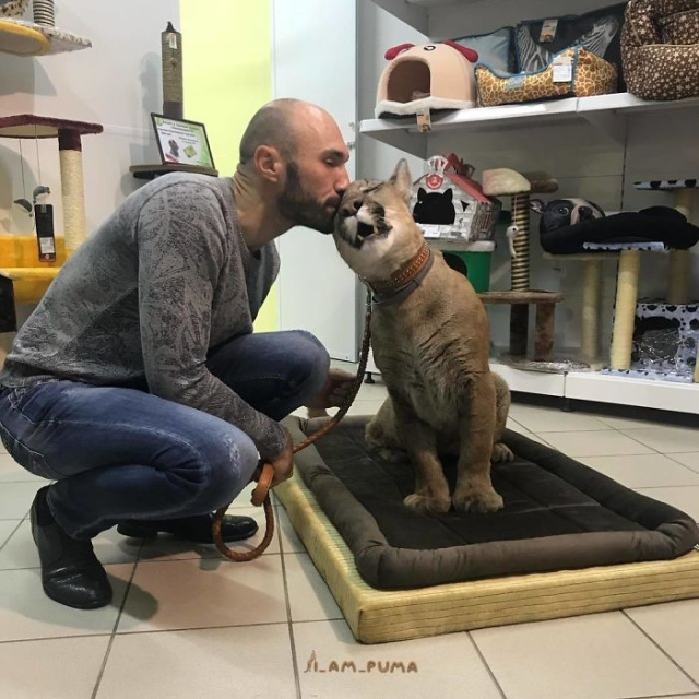Adopted Puma From A Russian Zoo