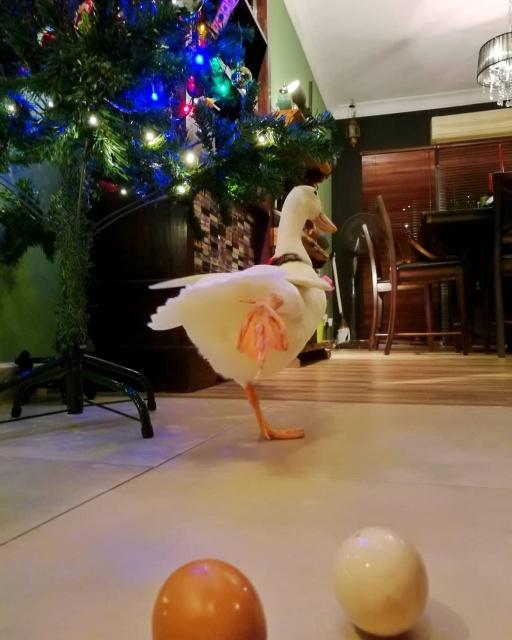 Pet Duck Daisy From Malaysia
