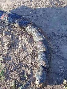 Eel-like Creature With Human-Like Teeth Found In Argentina