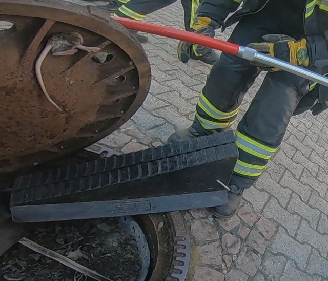 Team Of Fire Fighters Rescue Fat Rat Stuck In German Manhole