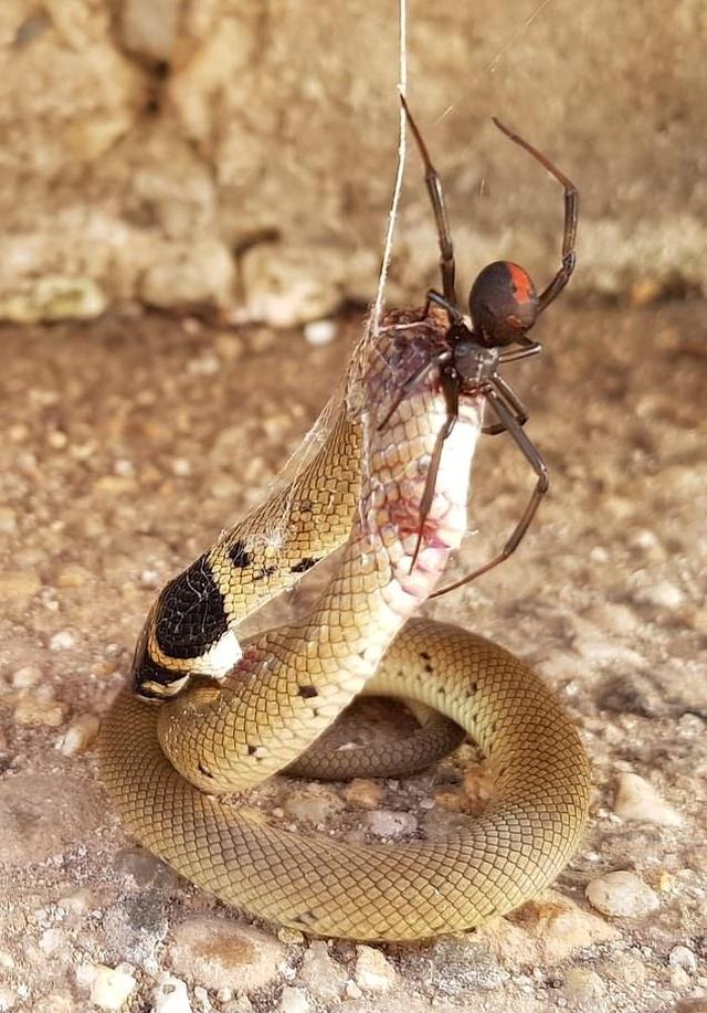 Redback Spider Vs Eastern Brown Snake