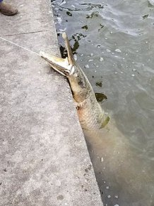 Giant Alligator Gar Caught in Lafreniere Park, Louisiana