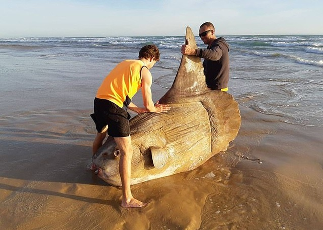 Giant Sunfish Is Found Washed Up On A Deserted Beach