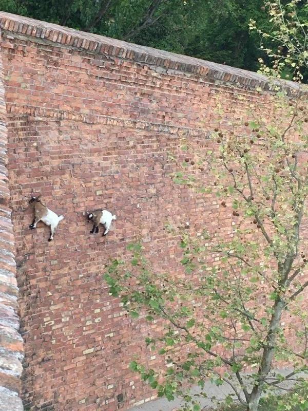 Goat Parkour
