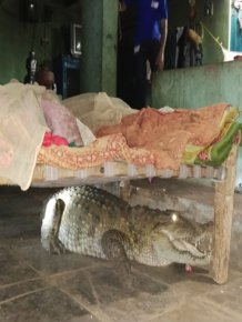 In India, Farmer Wakes Up To Find Crocodile Under His Bed