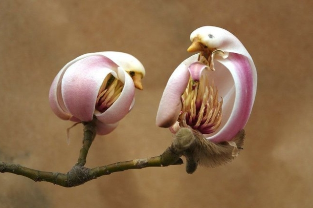 Magnolia Flower Looks Like A Bird