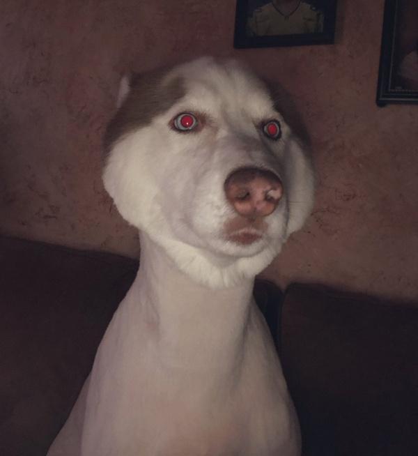 Husky Gets Haircut