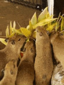 Capybaras Are Awesome