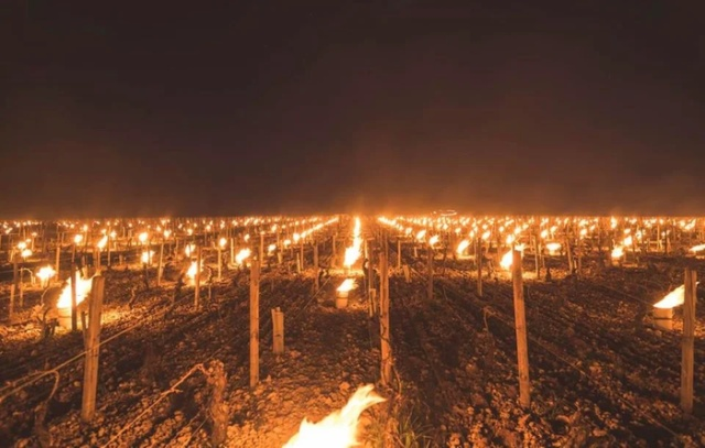 Bonfires Burn In French Vineyards To Protect Them From Frost