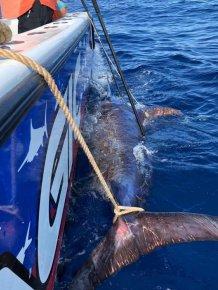 Giant Swordfish