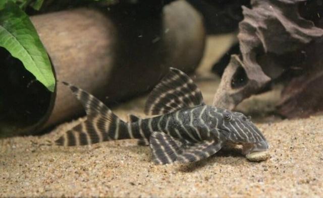When Aquarium Fish Reaches 25 Years Of Age