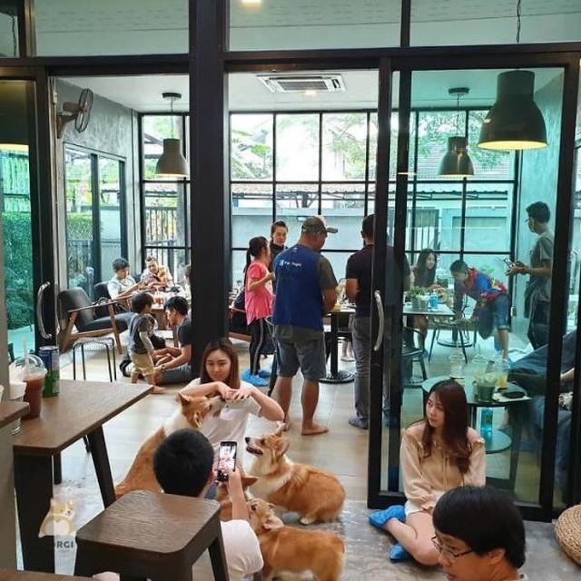 Corgi Café In Thailand